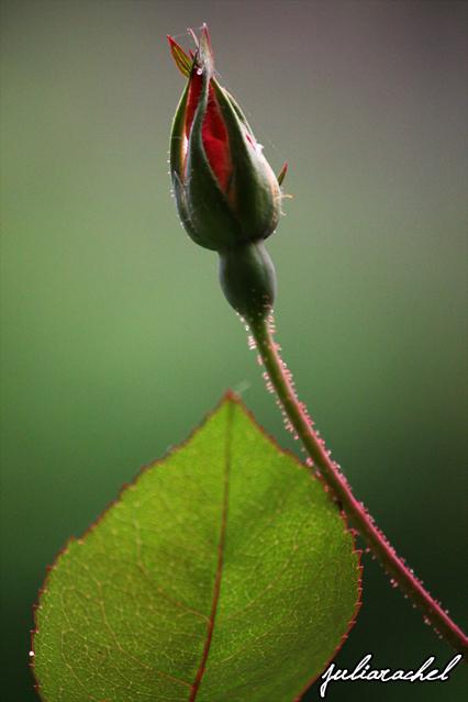 JR-nature rose bud