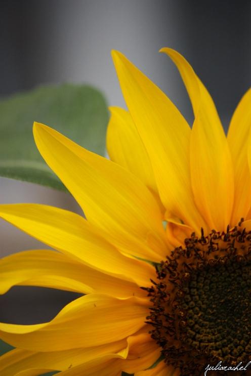 JR-nature sunflower