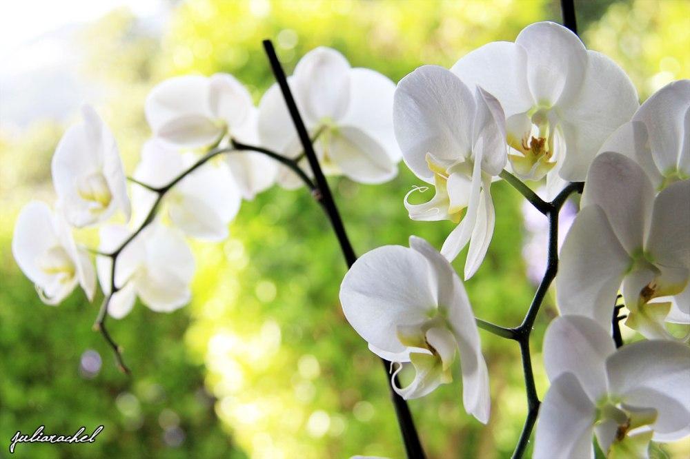 juliarachel-orchid-at-my-window